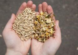 зерно и токсині